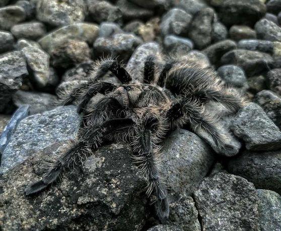 самцы пауков птицеедов для новичков Brachypelma albopilosum