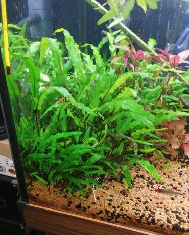 Kryptokoryna - rośliny akwariowe