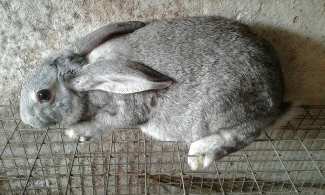 Продам кролі шиншила