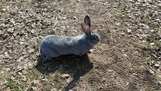 Кролики Європейська Шиншила