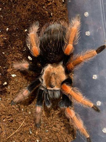 Паук-птицеед - Brachypelma boehmei. Самка. 5 см по телу.