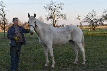 Koń Wałach - Fil
