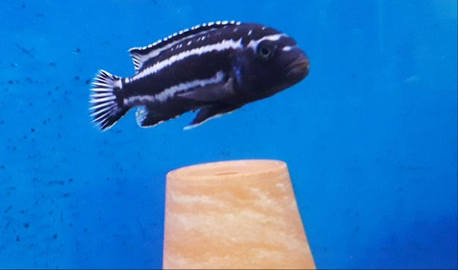 Melanochromis cyaneorhabdos (maingano).Malawi