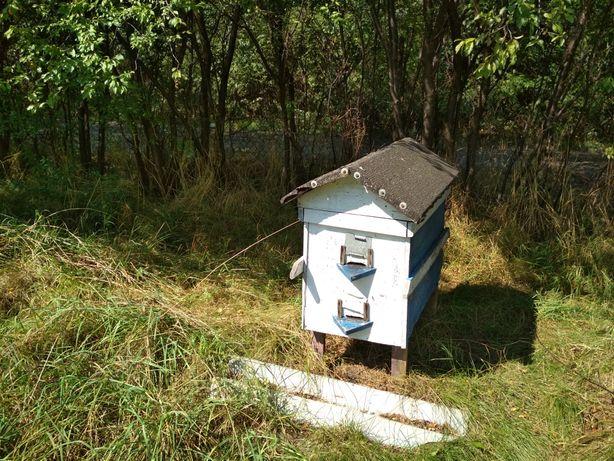 Pszczoły miodne z Południowego Podlasia