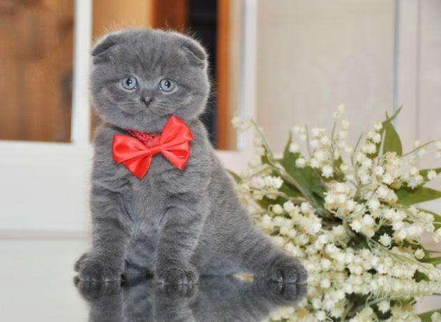 мальчик Клубные Шотландские котята, вислоушка