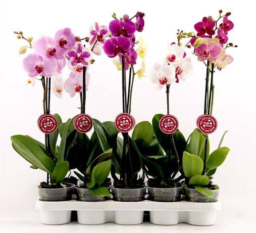 Орхидея фаленопсис и Растения оптом из Голландии, Германии, Азии, EC