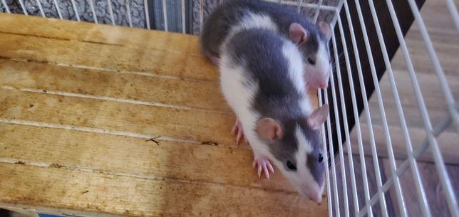 Милые крысята. Продам с клетками.