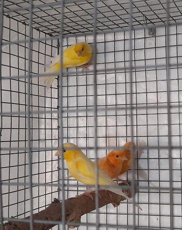 40 Canários troco por kakarikis amarelo ou caturras amarela ou branca