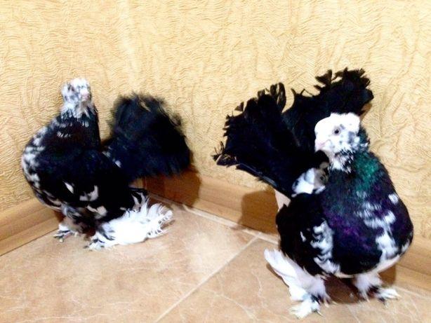 Продам голубів