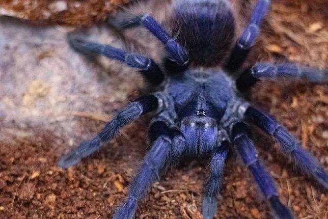 pterinopelma sazimai тарантул малыши паук птицеед для новичков хобби