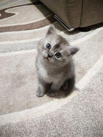 котенок британская шиншила