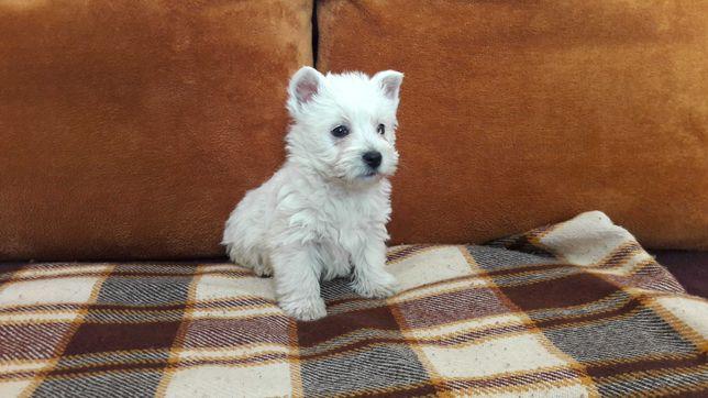 West Highland White Terrier - szczenięta z rodowodem