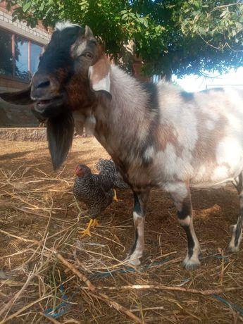 Нубийский козёл для покрытия коз