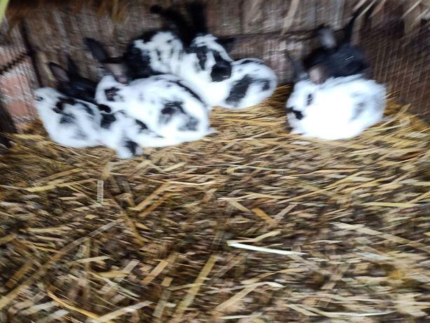 Sprzedam króliki olbrzymy belgijskie