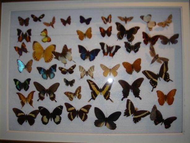 Bogata kolekcja motyli w szklano-drewnianej gablocie 45 motyli + 1 kok