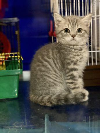 Котик голубой пятнистый