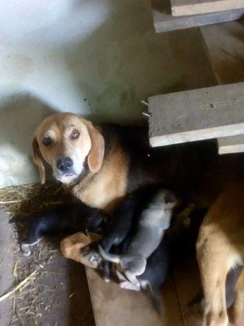 Продам щенков од робочих родителей