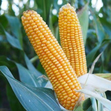 Nasiona kukurydzy Rudesta 80 tyś nasion kukurydza zaprawa Optiplus