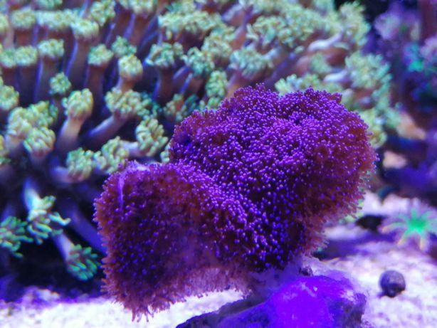 Stylophora pistillata milka SPS (Akwarium morskie koralowce)