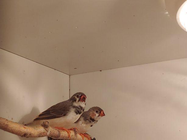 Зебровые амадины (птицы). Декоративные птицы