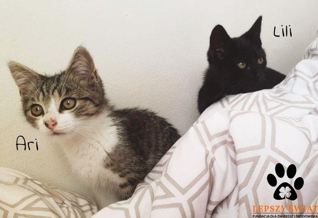 Lili i Ari - kocie rodzeństwo do adopcji