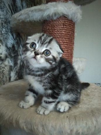 Скоттиш фоллд и страйт мраморные котята Киев