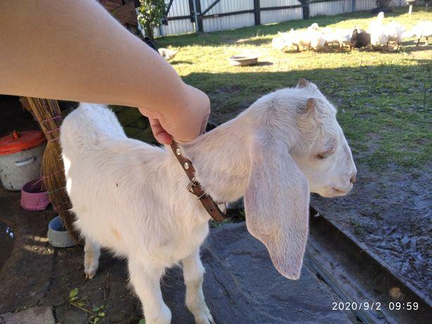 Породистый нубозааненский козлик, 3 месяца