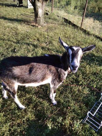 Продам козу и козочку
