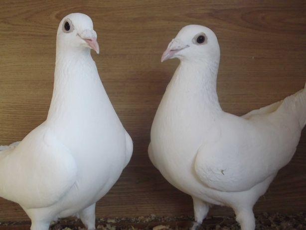 gołębie pocztowe białe