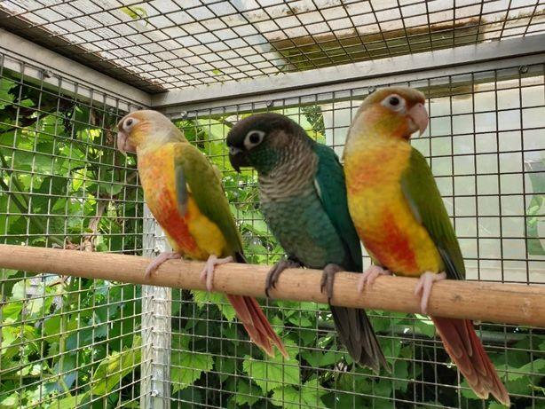 Ручной,говорящий попугайчик пиррура