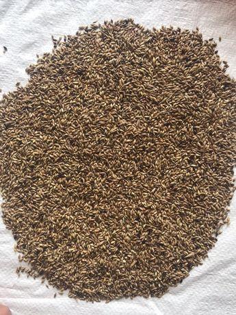 Семена Суданки
