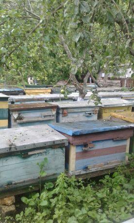 Продам пчела украинская степная