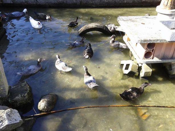 Patos mudos