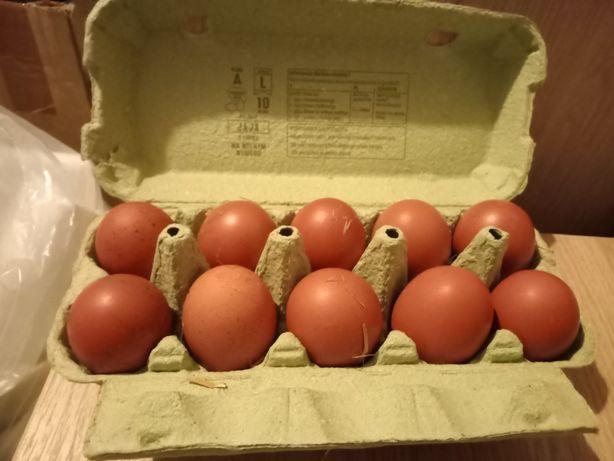 Jaja lęgowe MARANSA Czarnomiedziany