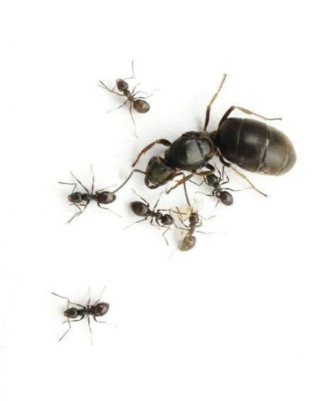Mrówki Lasius niger