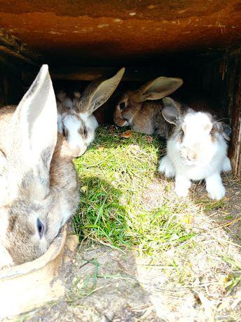 Sprzedam króliki mieszańce