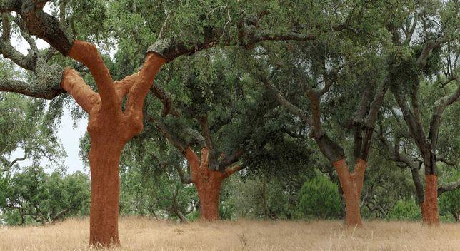 Poda de oliveiras e sobreiros