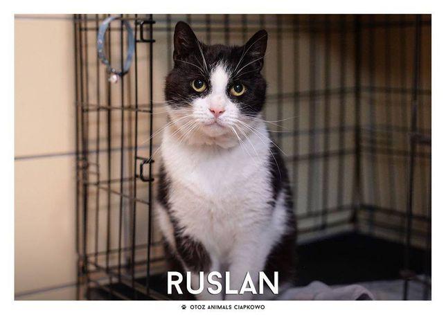 Ruslan - uroczy kocurek czeka na dom w OTOZ Animals Ciapkowo!
