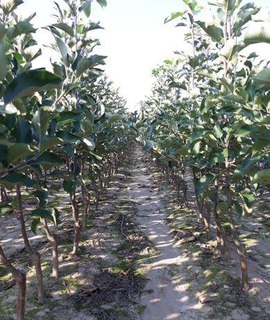 Drzewka owocowe, jabłoń grusza śliwa wiśnia agrest porzeczka sadzonki
