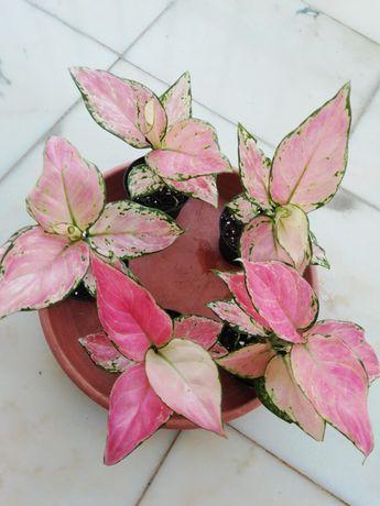 Aglaonemas(planta de interior)