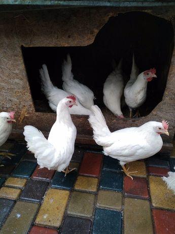 Молодые курочки доминант, леггорн, цыплята