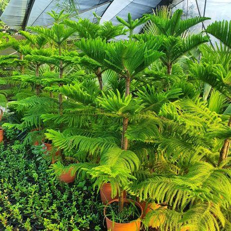 Arvore Araucaria heterophylla