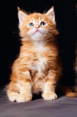 Кошечка красный мрамор!