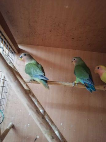 Papugi nierozłączki czerwonoczelne zielone z ciekawymi oganami