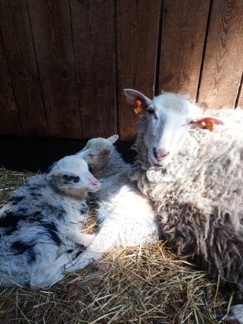 Owca-po pierwszym wykocie.