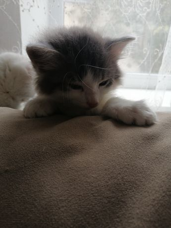 Котик домашний, нежный, очень ласковый и красивый.
