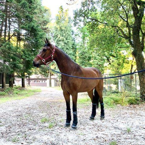 Cavalo cruzado português