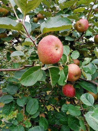 Jabłka Red Boskop