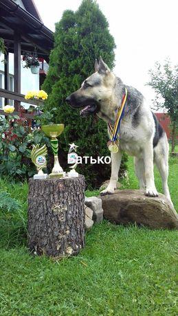 Східноєвропейська вівчарка з документами КСУ