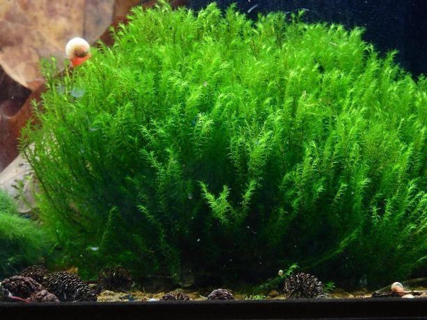 MECH rośliny milimetr moss/ mini pelia/ phoenix/ fissidensy